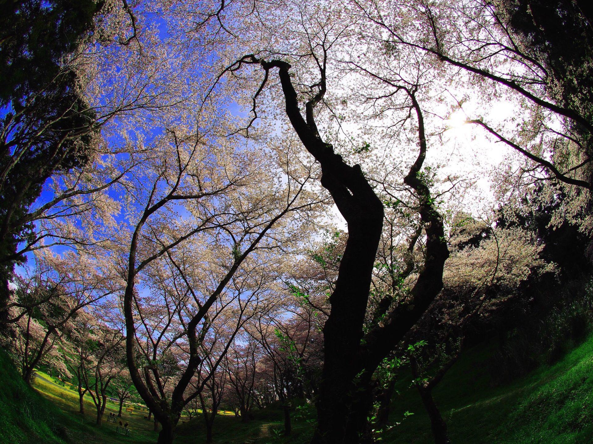 桜の季節でございます